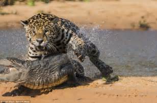 Jaguar Fighting Crocodile Moment A Jaguar Stalks And Ambushes A Caiman Before