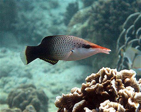 bird wrasse gomphosus varius fish profile click on the image to rotate photos