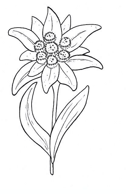 Edelweiss Flower Coloring Page | 25 best edelweiss in my heart images on pinterest