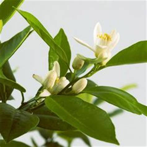 most fragrant indoor plants 1000 images about fragrant flowers on