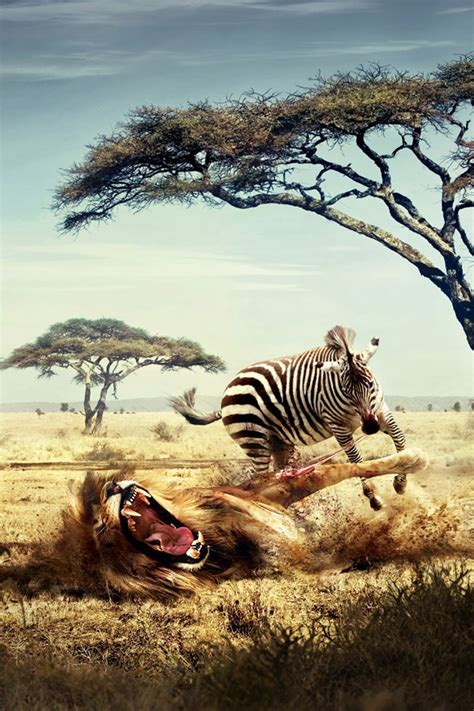 zebra wallpaper for iphone 5 2018 download zebra and lion wallpaper iphone full size