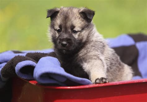elkhound puppy elkhound puppies for sale akc puppyfinder
