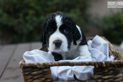 springer spaniel puppies near me springer spaniel puppy for sale near los angeles california