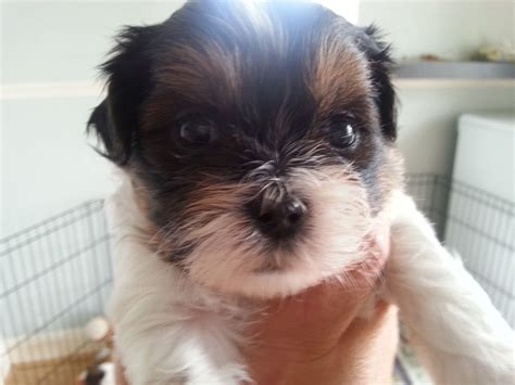 yorkie shih tzu for sale shih tzu x terrier puppies for sale grays essex pets4homes