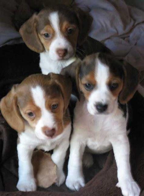 beagle puppies virginia pocket beagle beagles and on