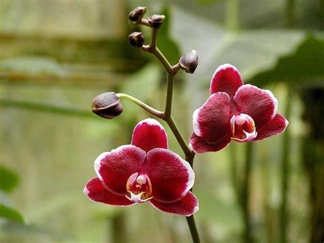 orchidea nera fiore significato dei fiori orchidea significato fiori