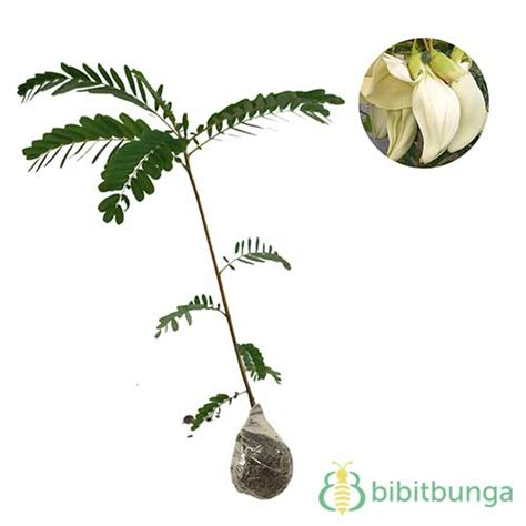 Tanaman Hias Violces And White tanaman turi putih white agati jual tanaman hias