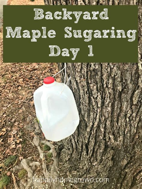 backyard maple sugaring backyard maple sugaring day 1 happily homegrown