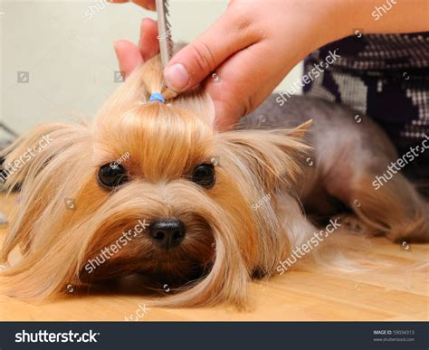 before and after terriers hair cut yorkshire terrier getting his hair cut stock photo