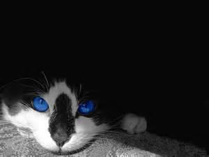 Beautiful cat wallpaper beautiful cat desktop wallpaper
