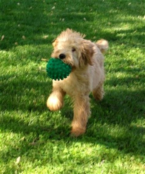 goldendoodle puppy exercise your new labradoodle aussiedoodle or