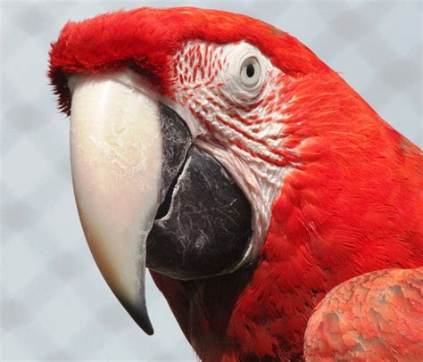 imagenes de guacamayas rojas free photo macaw red parrot bird colorful free