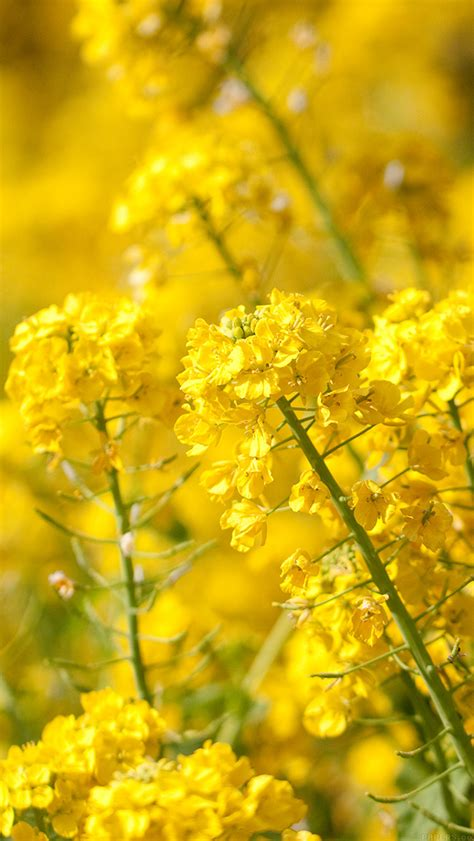 iphone wallpaper yellow flower freeios7 mq16 yellow flower spring fun nature parallax