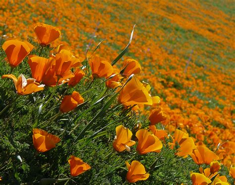 succulents and more california poppy dreamin