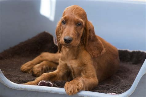 red setter dogs and puppies for sale quality k c registered male irish setter puppy leeds