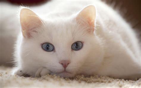 cat nose whiskers wallpaper white nose whiskers skin lie light