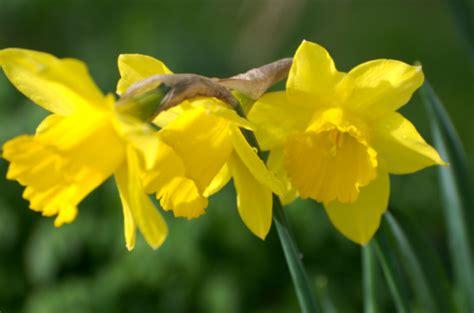 fiore giallo significato significato dei fiori la giunchiglia pollicegreen
