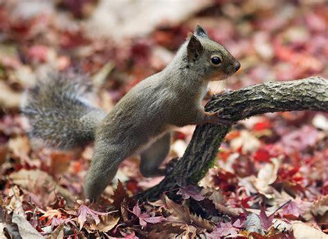 squirrel central central american squirrel