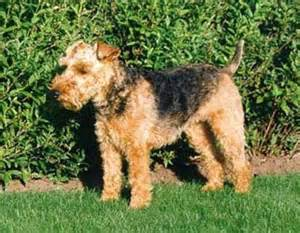 small non shedding calm dogs breeds picture