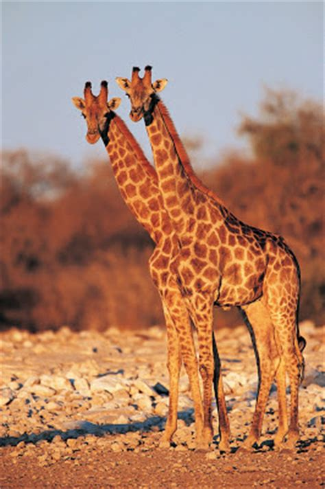 imágenes de jirafas y elefantes banco de im 193 genes animales salvajes 16 fotograf 237 as en