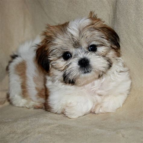 shorkie puppies for sale in nc shorkie puppies puppies puppy