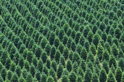 how to plant christmas tree farm tree farm free pictures stock photos retina