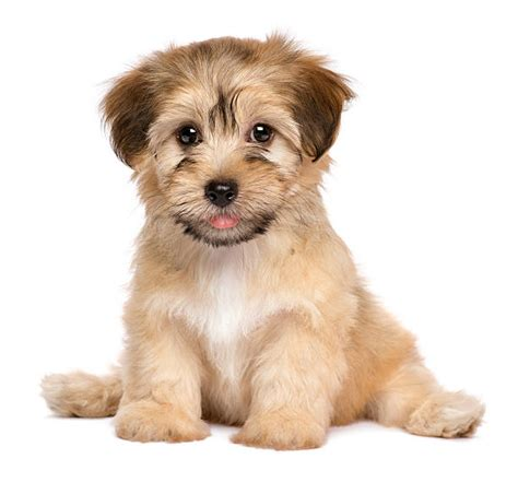 royalty  puppy pictures images  stock  istock