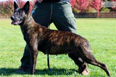 puppies for sale york pa knpv line puppies black shepherd for sale in york pa
