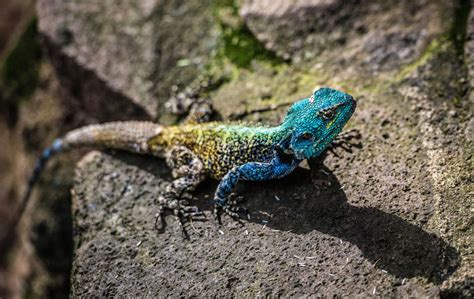 lizard images the habitat of lizards is nothing like you d expect find