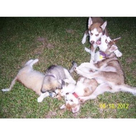 siberian husky puppies for sale in ma siberian husky puppies for sale in rhode island and breeders auto design tech