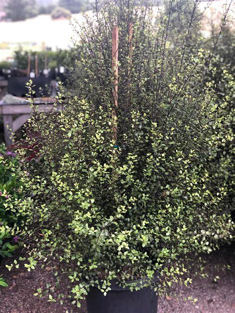 pittosporum tenuifolium oliver twist native sons