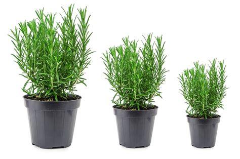 coltivare rosmarino in vaso come coltivare rosmarino in casa non sprecare