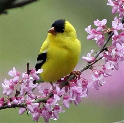 yellow finch yellow finch bird birds pinterest