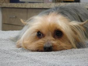 yorkie rescue ottawa 17 best ideas about terrier rescue on yorkie puppies yorkie and