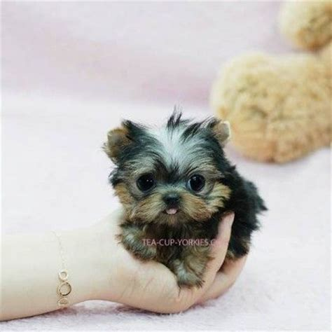 teacup yorkie seattle 123 best images about tea cup puppies on teacup pomeranian puppy tea cups