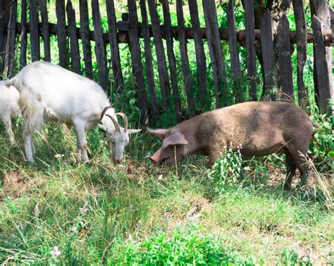 Backyard Cattle Raising how to raise goats in your backyard dairy goat journal