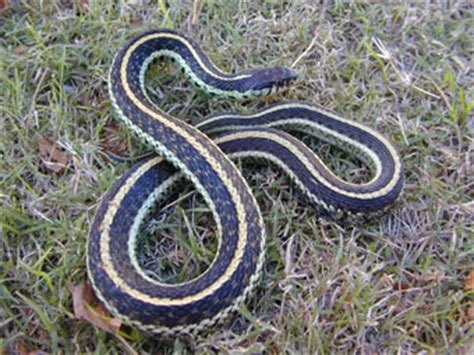 Garden Snake Oklahoma Common Garter Snake Facts And Pictures Reptile Fact