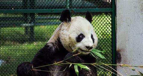 fotos animales zoo oso panda zoologico animales blanco negro bambu