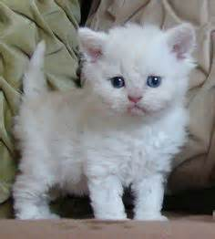 1000 images about white cats on white fluffy