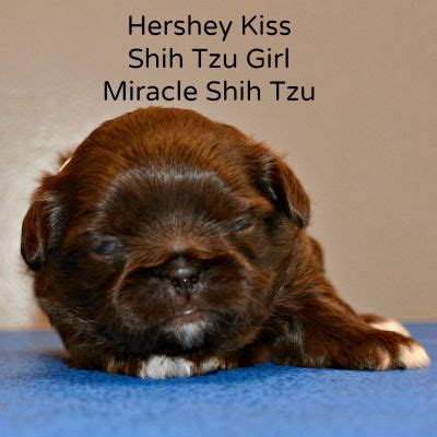 teacup shih tzu puppies for sale in ohio shih tzu puppies for sale in ohio cheap breeds picture