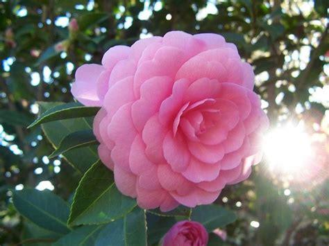 camelia fiori camellia japonica piante da giardino camellia japonica
