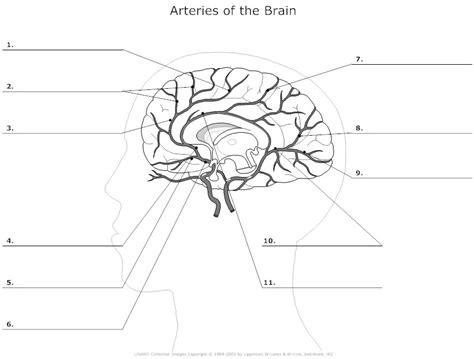 brain diagram worksheet 12 best images of brain anatomy worksheet brain diagram