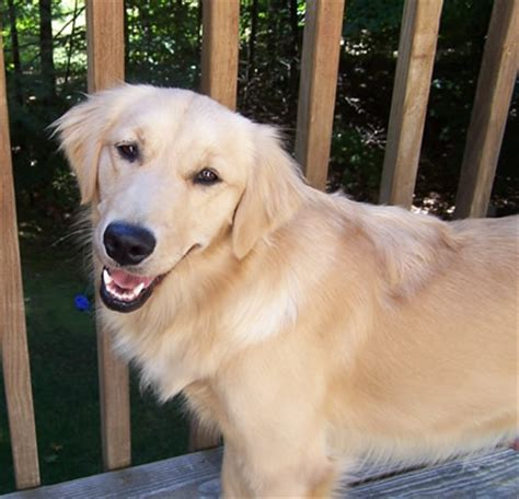 golden retriever 10 years testimonials of owners with hip dysplasia degenerative hips and arthritis in dogs