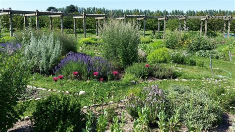 cherry point farm see the blooming mystical lavender labyrinth said to