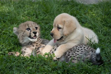 cheetah cub picture of the day just a cheetah cub and a puppy