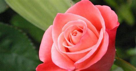 wallpaper bunga rose pink gambar bunga mawar pink download gambar gratis