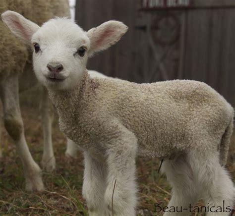 contessa curtains hartlepool quot spruce quot precious little gulf coast native sheep ram