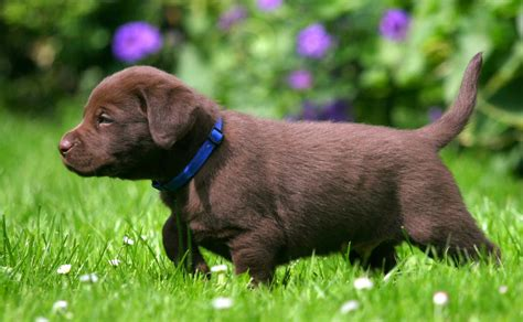brown puppy names labrador names hundreds of great ideas to help you name your the labrador site
