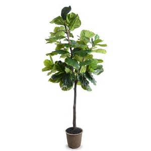 Fiddle Leaf Fig by 7 Fiddle Leaf Fig Tree New Growth Designs