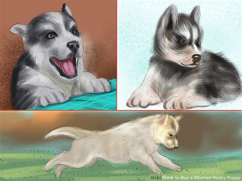 where to buy husky puppies 3 ways to buy a siberian husky puppy wikihow